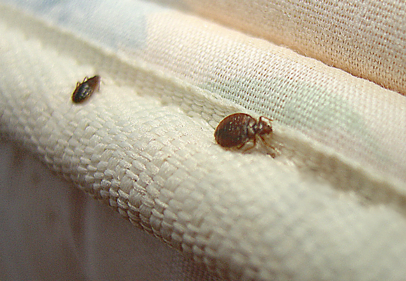 It's Official – Absolutely No Place Is Off Limits These Days for Bed Bugs! What to Do?